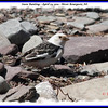 Snow Bunting - April 23, 2011 - River Bourgeois, NS (Photo Daniel Viau)