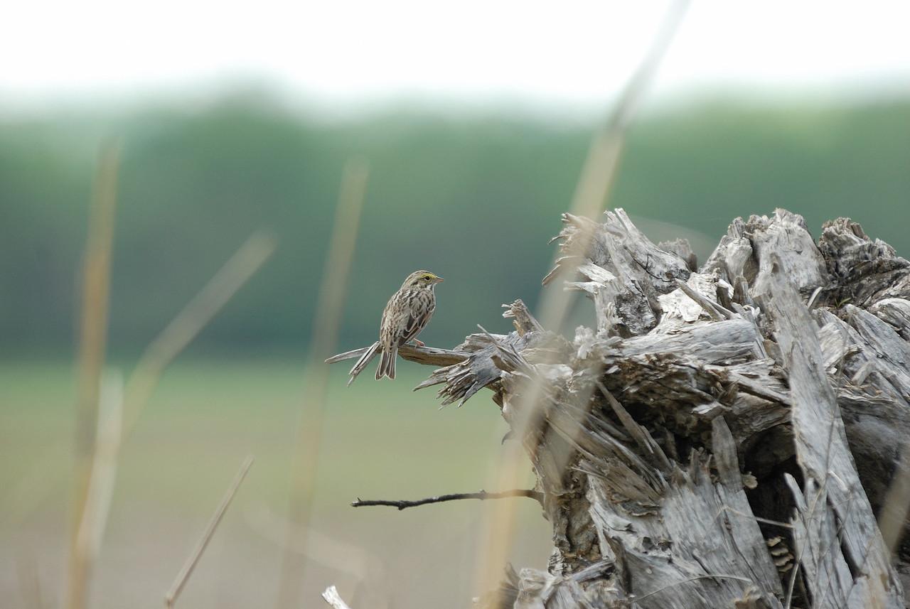 Savannah Sparrows (2)