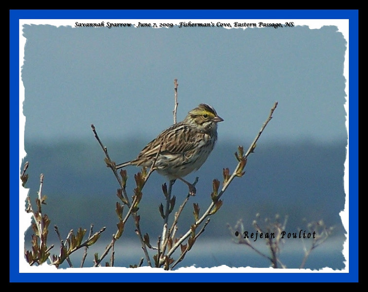 Savannah Sparrow - June 7, 2009 - Fisherman's Cove, Eastern Passage, NS (Photo Rejean Pouliot)