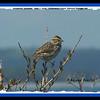 Savannah Sparrow - June 7, 2009 - Fisherman's Cove, Eastern Passage, NS (Photo Rejean Pouliot)