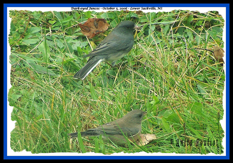 Dark-eyed Juncos - October 5, 2006 - Lower Sackville, NS (Photo Anita Pouliot)
