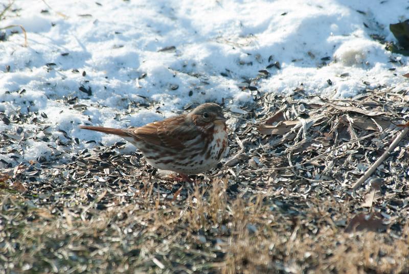 Fox Sparrow (3)