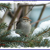 Chipping Sparrow - March 10, 2008 - Lower Sackville,NS