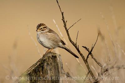 Brewer's Sparrow at Swanson Lakes Wildlife Area near Creston, Washington.