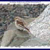 Snow Bunting - November 26, 2005 - Salt Marsh Trail, Cole Harbour, NS