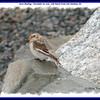 Snow Bunting - November 26, 2005 - Salt Marsh Trail, Cole Harbour, NS