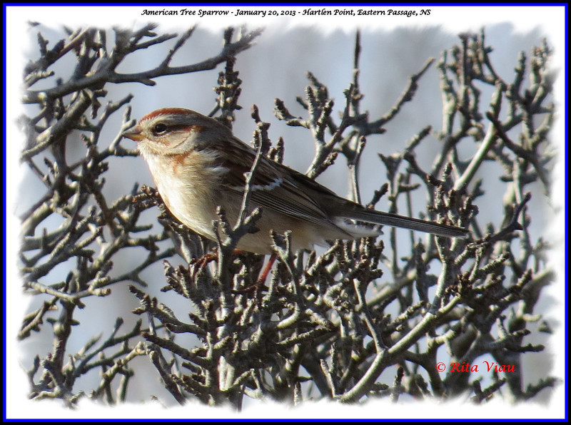 American Tree Sparrow - January 20, 2013 - Hartlen Point, Eastern Passage, NS
