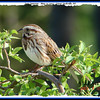 Song Sparrow - May 12, 2007 - Lower Sackville, NS