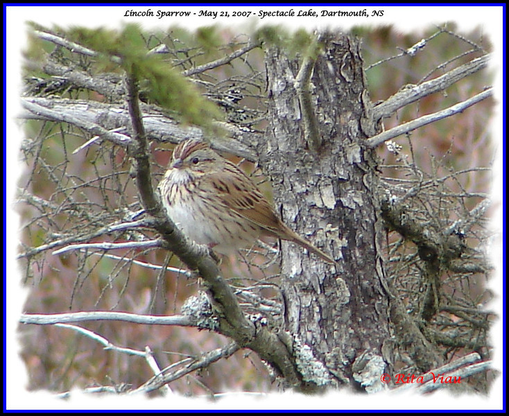 Lincoln's Sparrow - May 21, 2007 - Spectacle Lake, Dartmouth, NS
