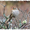 White-crowned Sparrow - January 18, 2014 - MacCormack's Beach, Eastern Passage, NS