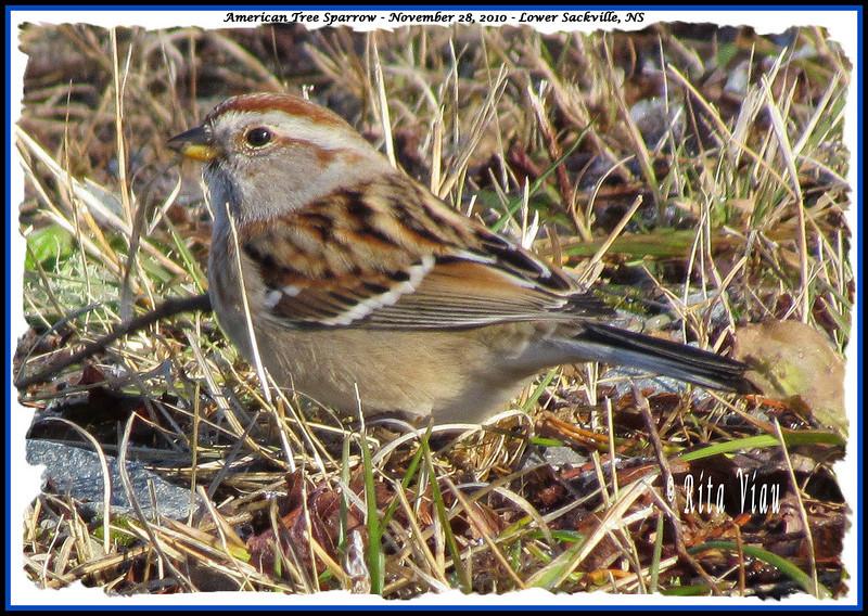 American Tree Sparrow - November 28, 2010 - Lower Sackville, NS