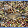 American Tree Sparrow - November 28, 2010 - Lower Sackville, NS