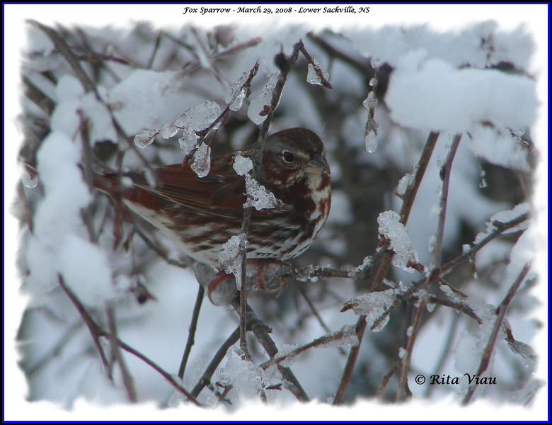 Fox Sparrow - March 29, 2008 - Lower Sackville, NS
