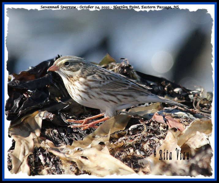 Savannah Sparrow - October 24, 2010 - Hartlen Point, Eastern Passage, NS