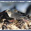 Savannah Sparrow - October 24, 2010 - Hartlen Point, Eastern Passage, NS