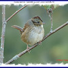 Swamp Sparrow - September 23, 2008 - Lower Sackville, NS