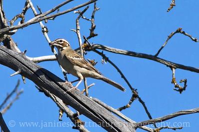 Lark Sparrow with a grasshopper in its beak.  Photo taken near Winthrop, Washington.