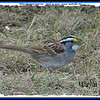 White-throated Sparrow - April 27, 2009 - Lower Sackville, NS