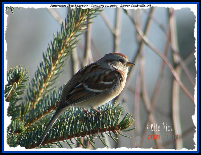 American Tree Sparrow - January 10, 2009 - Lower Sackville, NS
