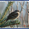 American Tree Sparrow - January 10, 2009 - Lower Sackville, NS