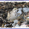 Savannah Sparrow - March 31, 2011 - Hartlen Point, Eastern Passage, NS