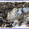 Savannah Sparrow - March 31, 2011 - Hartlen Point, Eastern Passage, NS