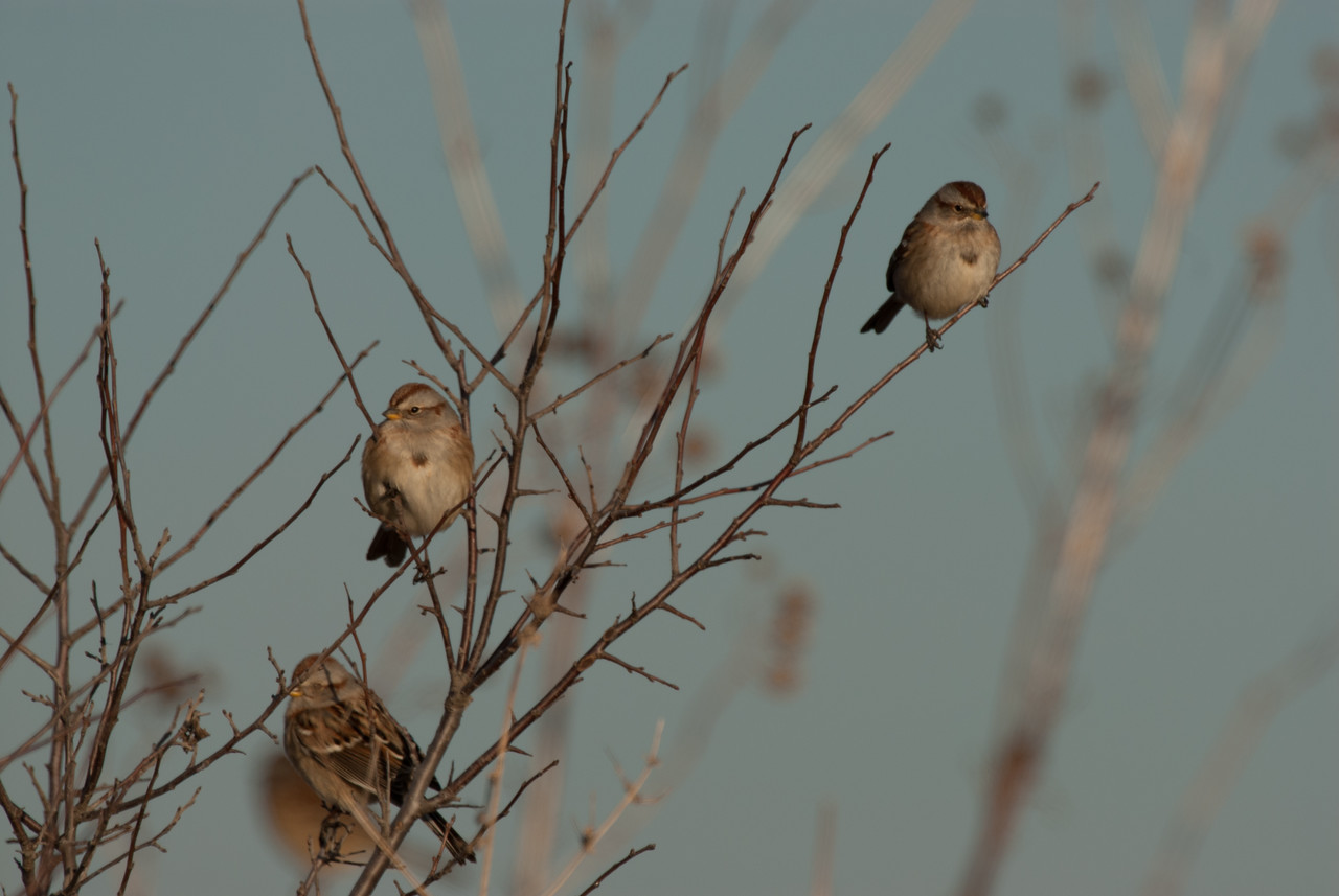 American Tree Sparrow (3)
