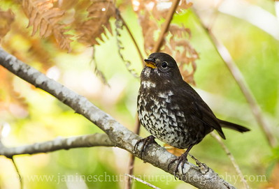 """Sooty"" Fox Sparrow at Jarrell Cove State Park near Shelton, Washington."