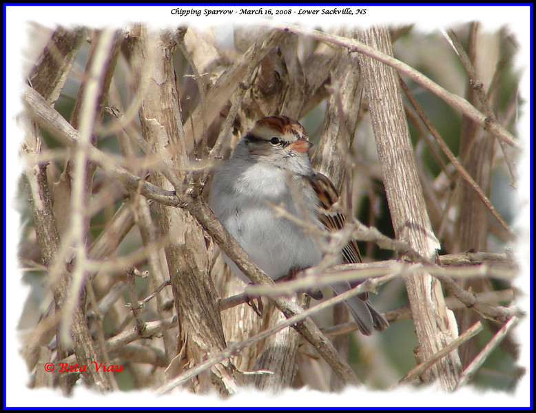 Chipping Sparrow - March 16, 2008 - Lower Sackville, NS