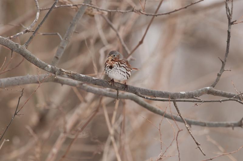 Fox Sparrow (5)