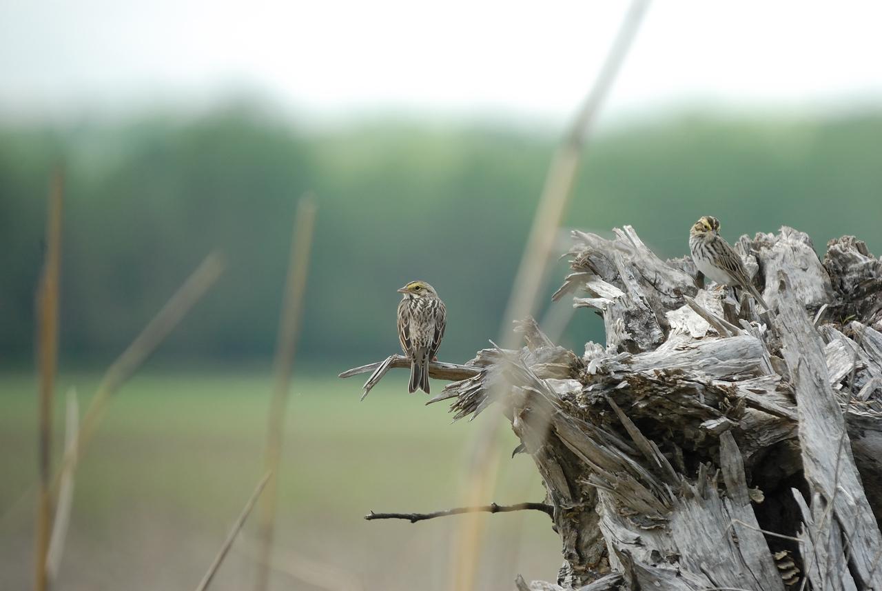 Savannah Sparrows (1)
