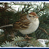 Chipping Sparrow - February 9, 2008 - Lower Sackville, NS