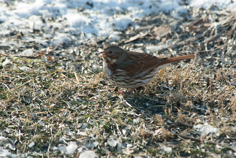 Fox Sparrow (1)