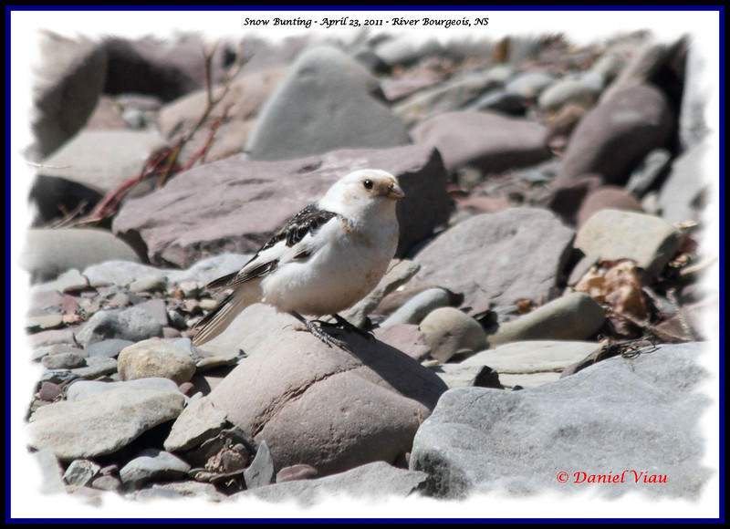 Snow Bunting - April 23, 2011 - River Bourgeois, NS