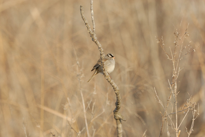 White Crowned Sparrow (1)