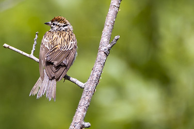 Chipping Sparrow by Coldwater Lake at the Mount St. Helens National Volcanic Monument in Washington.