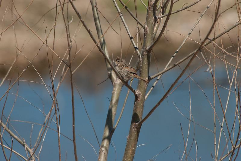 Sparrow sp (1)