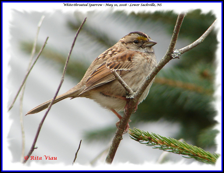 White-throated Sparrow - May 10, 2008 - Lower Sackville, NS