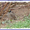Golden-crowned Sparrow - April 21, 2006 - Wolfville, NS