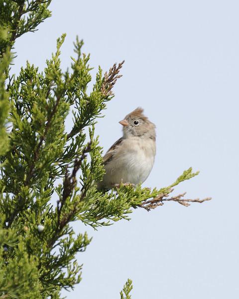 Field Sparrow (1)