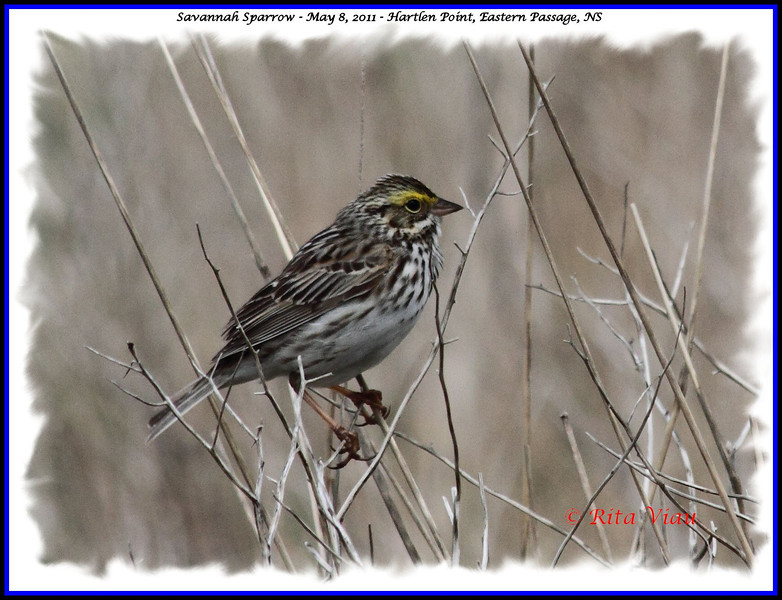 Savannah Sparrow - May 8, 2011 - Hartlen Point, Eastern Passage, NS