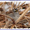 White-throated Sparrow - January 27, 2008