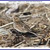 Lapland Longspur - October 24, 2010 - Hartlen Point, Eastern Passage, NS