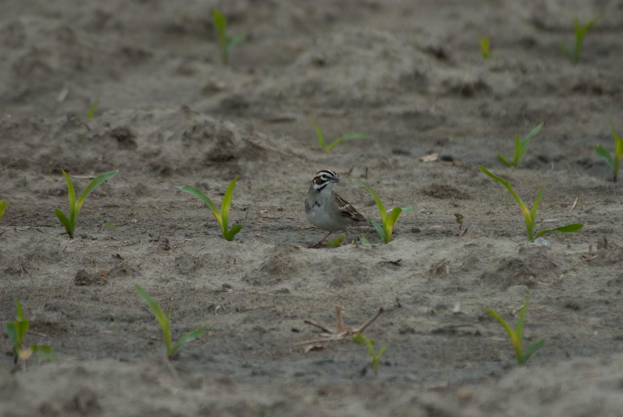 Lark Sparrow (1)