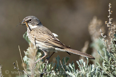 Sagebrush Sparrow in sagebrush holding a winged insect.  Photo taken at the U.S. Army Yakima Training Center near Yakima, Washington.