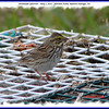 Savannah Sparrow - May 1, 2010 - Hartlen Point, Eastern Passage, NS