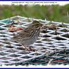 Savannah Sparrow - May 1, 2010 - Hartlen Point, Eastern Passage, NS