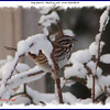 Song Sparrow - March 29, 2008 - Lower Sackville, NS