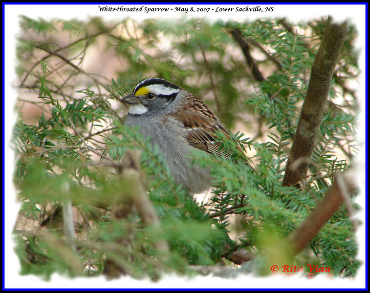 White-throated Sparrow - May 8, 2007 - Lower Sackville, NS