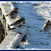 Snow Buntings - December 15, 2007 - Fisherman's Cove, Eastern Passage, NS